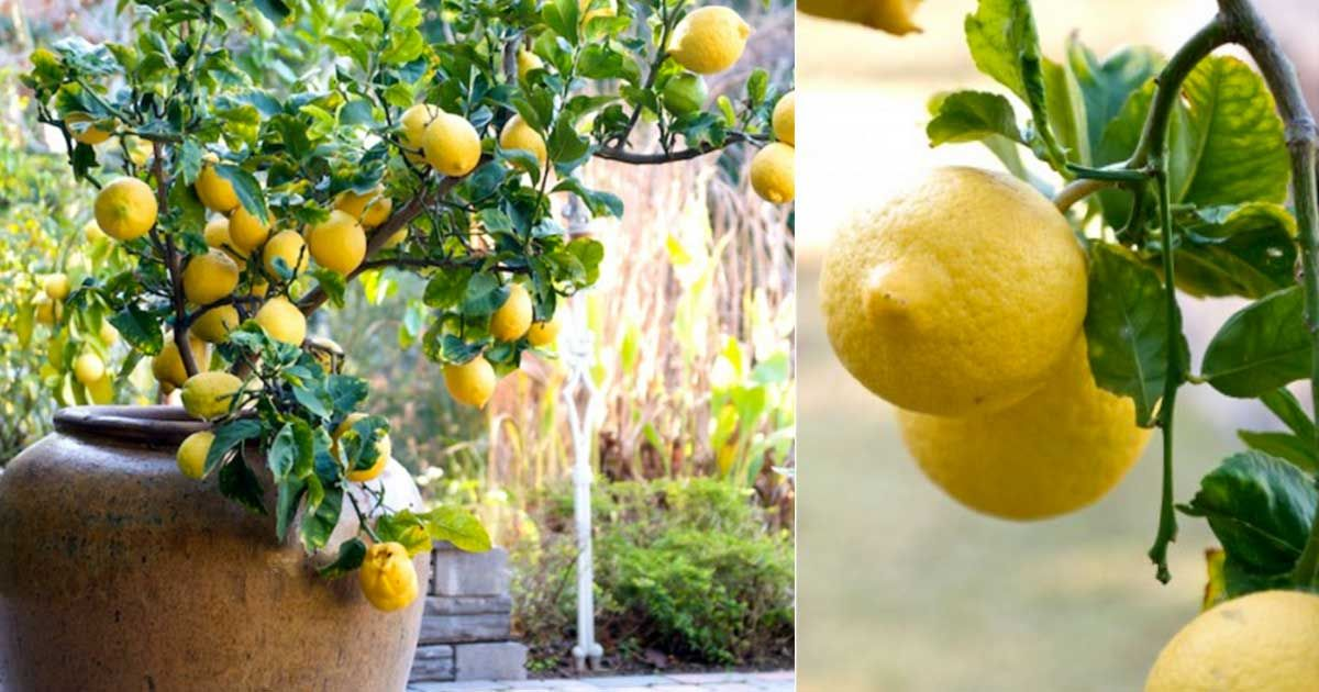 How to grow a lemon tree in a pot from a seed - Limonero en maceta ...